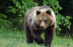 Bear in Bialowieza