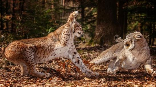 Fighting lynx