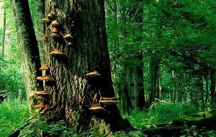 Grzyby na drzewie-Bialowieza