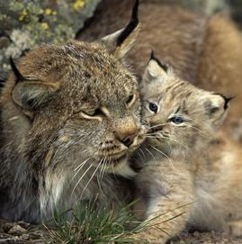 Mothe Lynx with baby