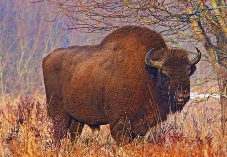 Polski bizon